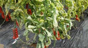 PIORiN: Nowe zagrożenia fitosanitarne dla upraw