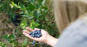 Polacy sprowadzą z Gruzji owoce borówki i pracowników. Wyślą tam sadzonki