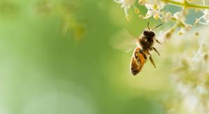 Pszczoły w eksperymentalnej pasiece w Toruniu rozpoczęły kolejny sezon