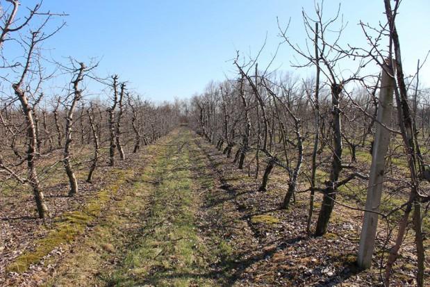 Zwalczanie szkodników jabłoni wczesną wiosną