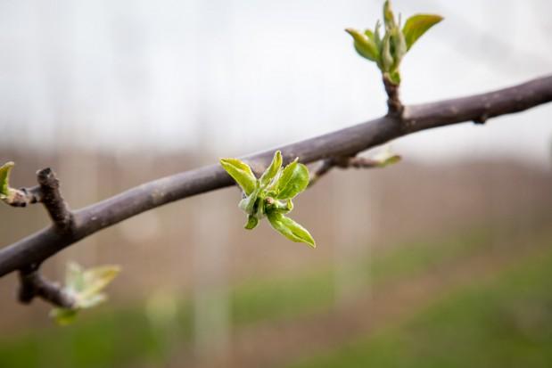 Jakiego nasilenia ze strony parcha jabłoni mogą spodziewać się sadownicy?