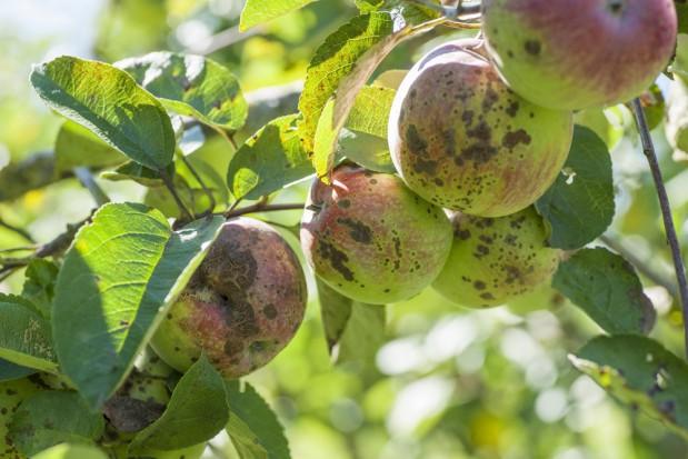 Parch większym zagrożeniem w sadach o znacznym porażeniu liści i owoców w 2017 r.