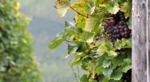 Prawie 60 proc. winnic na Podkarpaciu przyjmuje turystów