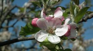 Węgry: Sadownicy spodziewają się dobrego plonowania wiśni, śliwek, jabłek i gruszek