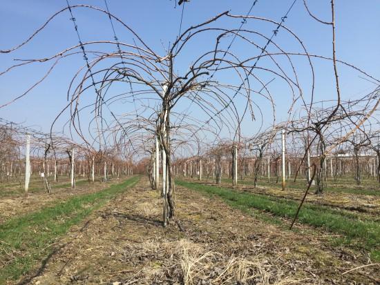 Zabiegi na plantacjach MiniKiwi wczesną wiosną