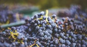 UE: Pogoda nie sprzyjała uprawie winorośli w 2017 r. Wina będzie mniej