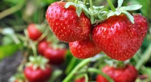 Od czego zależy sukces w produkcji owoców truskawki do przetwórstwa?