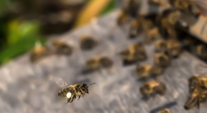 UE wprowadzi zakaz stosowania pestycydów szkodliwych dla pszczół