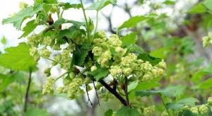 Mszyce i opadzina liści groźne dla upraw porzeczki czarnej