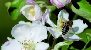 Raport sadowniczy firmy Agrii - ochrona w trakcie kwitnienia