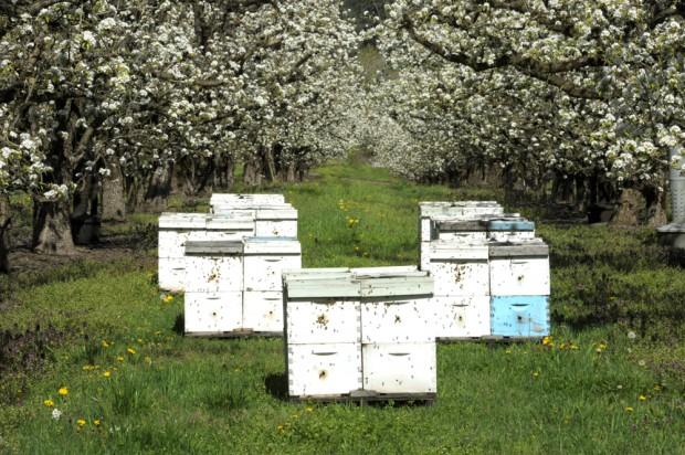 Brakuje pszczół do zapylania. Sadownicy przenoszą ule do sadów