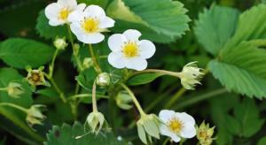 Kwitnienie truskawki: Ochrona plantacji przed szarą pleśnią i białą plamistością liści