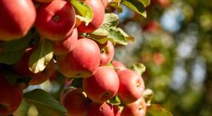 Czy w obecnym sezonie czeka nas jabłkowa klęska urodzaju?