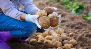 Konsumpcja ziemniaka spada - producenci mają problem
