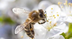 20 maja będziemy obchodzić Światowy Dzień Pszczół