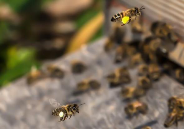 Agroscope: opracowano metodę badania ruchów pszczół za pomocą technologii RFID