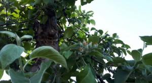 Sady jabłoniowe: Zagrożenie ze strony szkodników dotychczas rzadziej notowanych