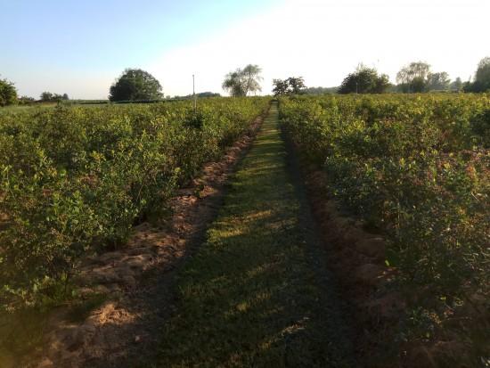 Plantator borówki: Podczas kwitnienia nie było sytuacji stresowych dla roślin (zdjęcia)