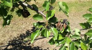Rak bakteryjny drzew owocowych problemem w bieżącym sezonie