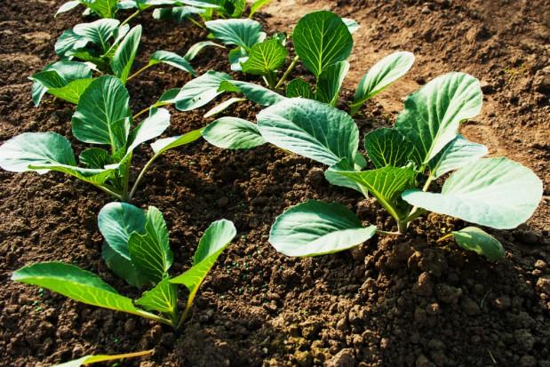 Ochrona warzyw kapustnych przed szkodnikami – lustracje
