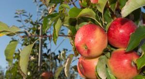Sadownicy optymistycznie podchodzą do kolejnego sezonu zbiorów jabłek