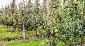 Projekt InnoFruit - tendencje w hodowli i uprawie grusz