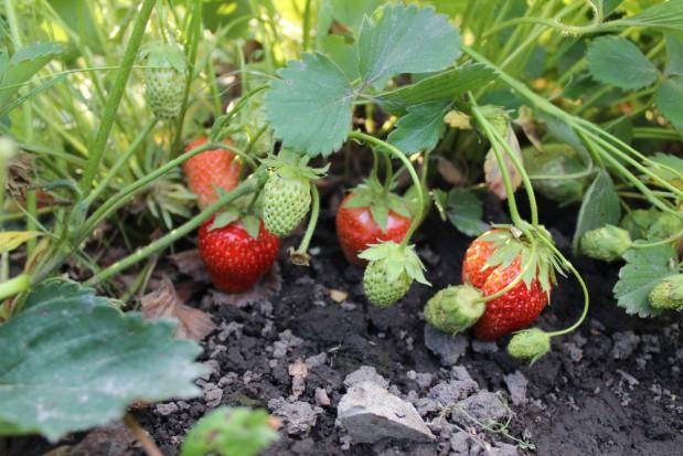 Gmina Bieliny: Grad zniszczył truskawki, plantatorzy liczą straty