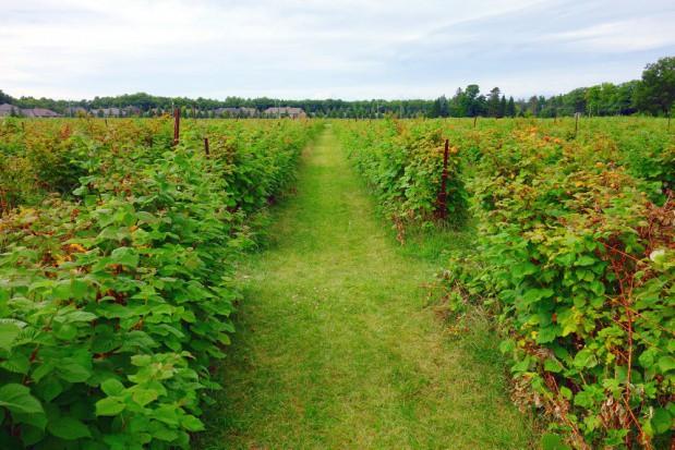 Plantatorzy już boją się, że nie znajdą pracowników do zbioru jesiennych malin