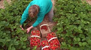 Brak chętnych do zbioru truskawek na Kaszubach