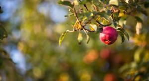 Odmiany jabłoni do sadów przemysłowych w ocenie IO