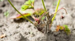 IUNG: Susza coraz dotkliwsza dla krzewów owocowych i truskawek