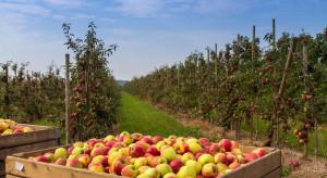 Styria/ Austria: szacowane zbiory jabłek dużo większe niż w poprzednich sezonach