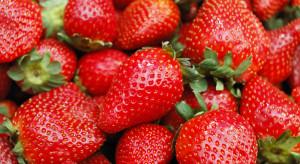 Florance - na rynku pojawiła się nowa odmiana truskawek deserowych
