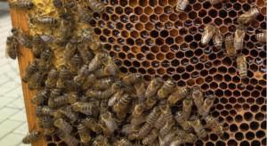 Pszczelarze mogą składać wnioski o dotacje na zakup węzy pszczelej