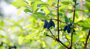 Problemy z wprowadzaniem do obrotu na rynek unijny owoców jagody kamczackiej
