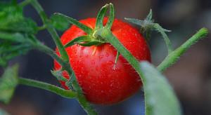 Meksyk: producenci pomidorów spodziewają się dobrych zbiorów