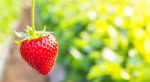 Włoskie konsorcjum chce zarejestrować 7 odmian truskawek w Rosji