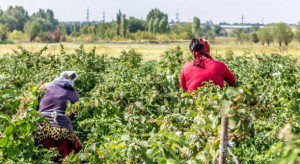 Brytyjscy rolnicy zaniepokojeni brakiem cudzoziemców do pracy