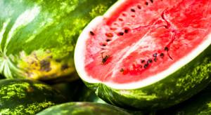 USA: Dwaj rolnicy wyhodowali 130 kilogramowego arbuza!
