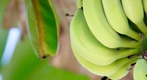 Brytyjska spółka pracuje nad odmianą banana odporną na grzyby