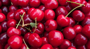 Mazowieckie: Wiśnie przemysłowe skupowane za 0,5 zł/kg