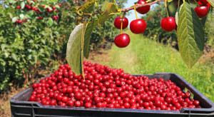 Niemieccy sadownicy spodziewają się większych zbiorów wiśni i czereśni