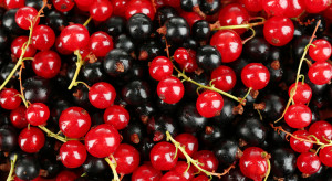 Mazowsze: Ceny skupu czarnych porzeczek na mrożenie dużo niższe niż czerwonych