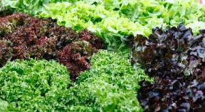 Wielka Brytania: Z powodu upałów zaczyna brakować mieszanek sałat