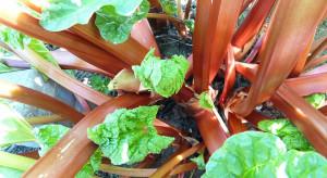 Wirusy problemem na plantacjach rabarbaru