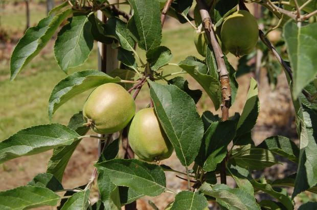 Owocówka, zwójki, mszyce – zwalczanie szkodników jabłoni w lipcu