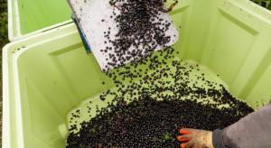 Sandomierski Związek Ogrodniczy apeluje o zaprzestanie zbiorów i sprzedaży owoców