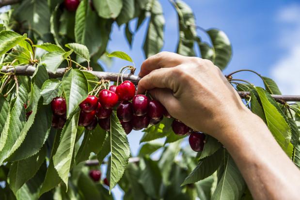 Kryzys w zbiorach owoców w Niemczech i Norwegii - przez brak polskich pracowników