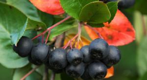 Aronia w obecnym sezonie – czy podzieli los innych owoców?