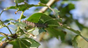 Problemy z brudnicą nieparką – szkodnikiem niszczącym liście drzew